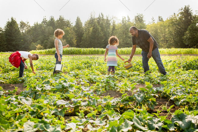 Dad and children picking cucumbers on a U-pick farm