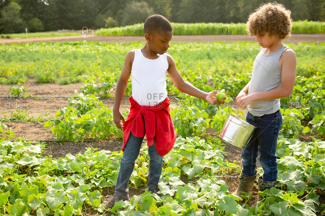 Two boys picking cucumbers on a farm