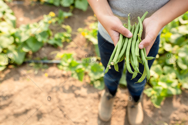 Hands of a small boy holding green beans