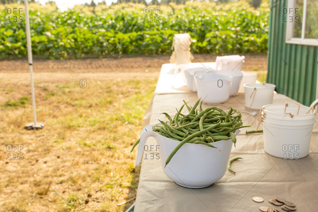 Filled container of green beans on a U-pick farm