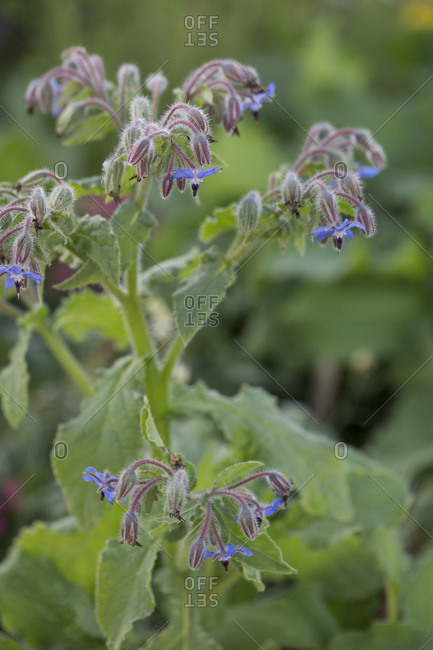 Borage growing in garden