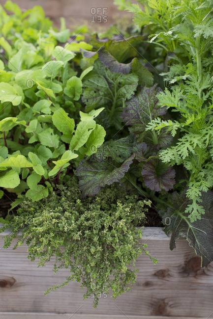 Leafy greens growing in garden boxes