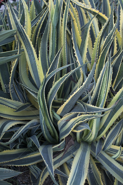 Detail shot of agave plants