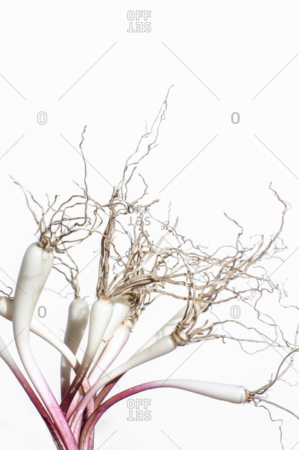 Ramp bulbs and roots on a white background