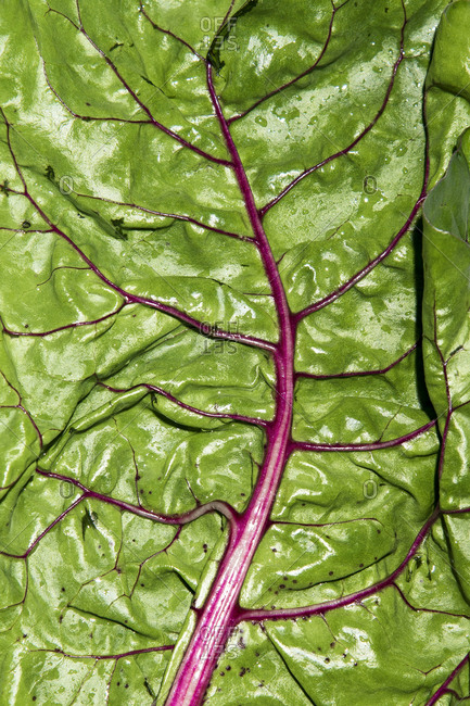 Swiss chard photographed on white