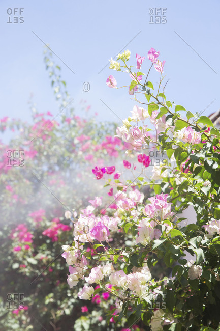 Bougainvillea blooming in desert garden