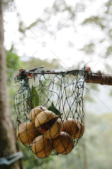 Freshly harvested nutmeg in net