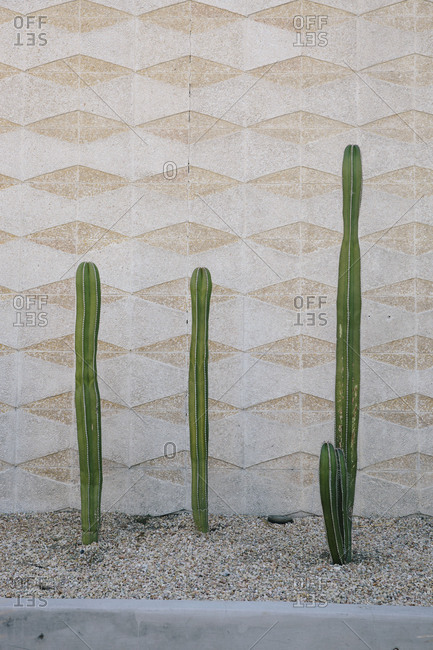Tall cacti growing in desert garden