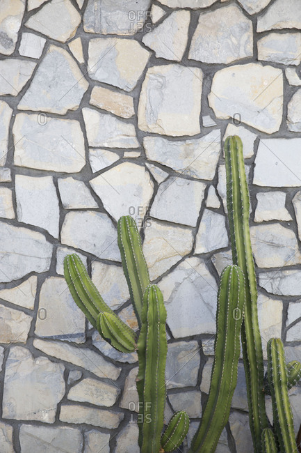 Tall cacti growing against stone wall