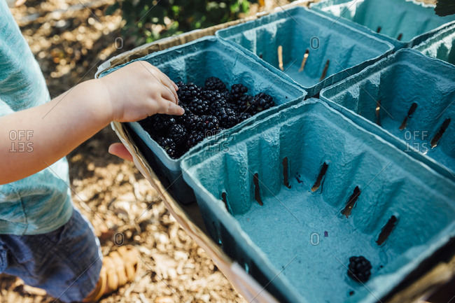 Low section of baby boy taking blackberries from box at farm