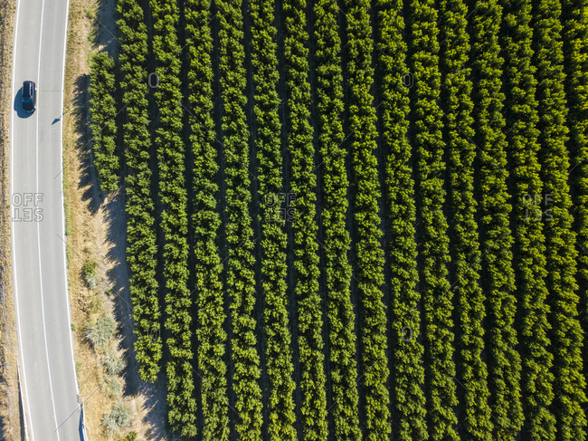 Aerial view of platycarpa production fields