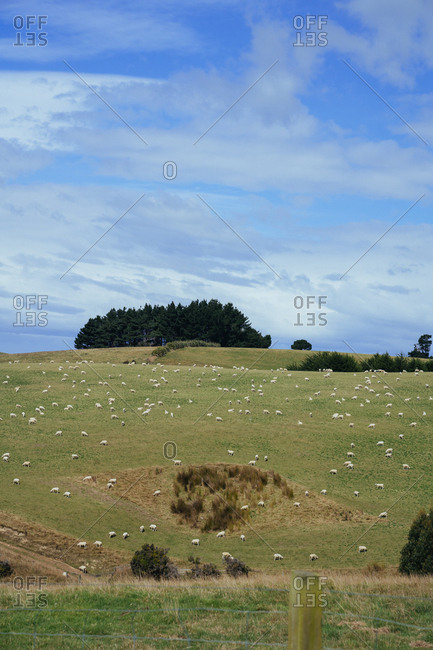 Sheep in a pasture on the Otago peninsula, New Zealand