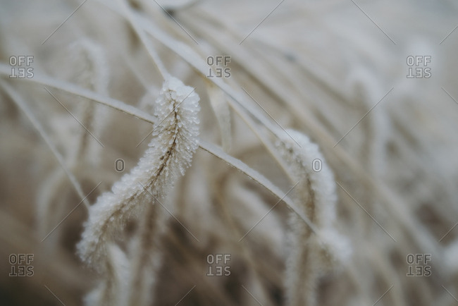Frost covered wheat