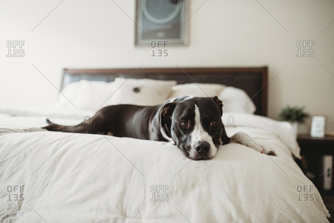 Tired dog resting on bed