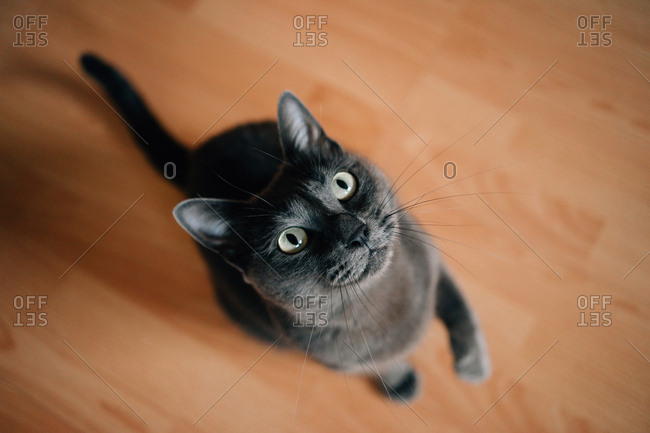 Russian blue cat at home looking up