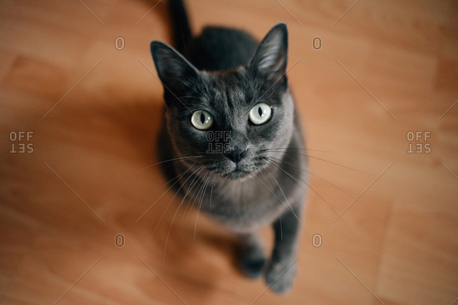 Portrait of a Russian blue cat at home looking up