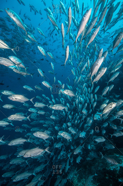 School of jack fish, Puntarenas, Costa Rica