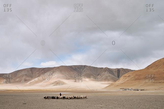 Herdsman and livestock, Tangra Yumco, Nyima, Xizang, China