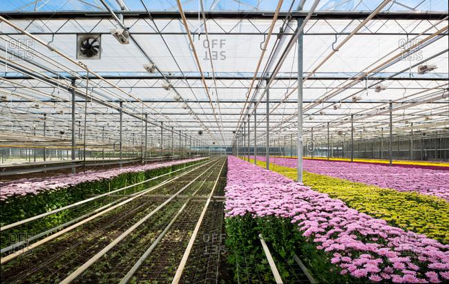Growing variety of chrysanthemums in modern Dutch greenhouse, Maasdijk, Zuid-Holland, Netherlands
