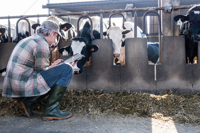 Dairy farm worker checking wellbeing of his cows