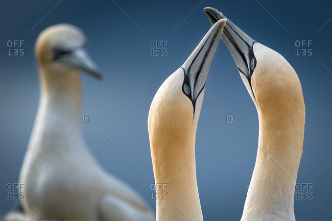 Gannets, close-up, touching beaks, Portmagee, Kerry, Ireland
