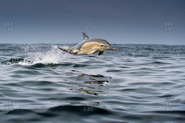 Common dolphin (Delphinus), porpoising, Blasket Islands, Dingle, Kerry, Ireland