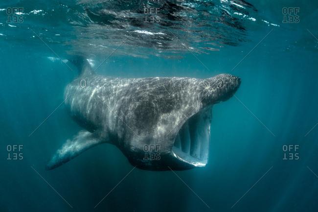 Basking shark (Cetorhinus maximus), underwater view, Baltimore, Cork, Ireland
