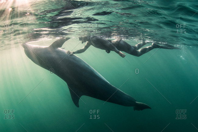Woman free-diving with Bottlenose dolphin (Tursiops truncates), underwater view, Doolin, Clare, Ireland