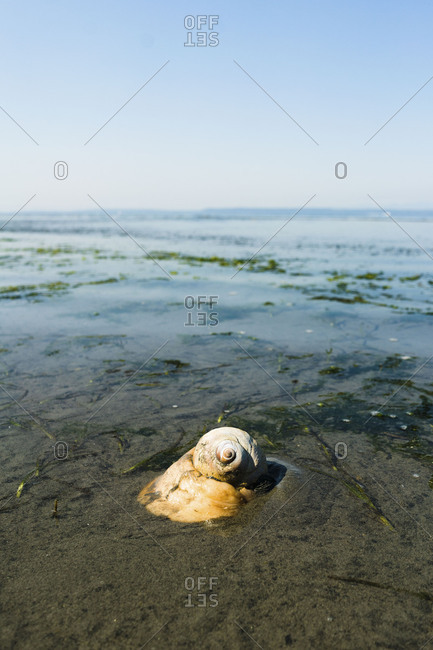 Moon snail on the beach
