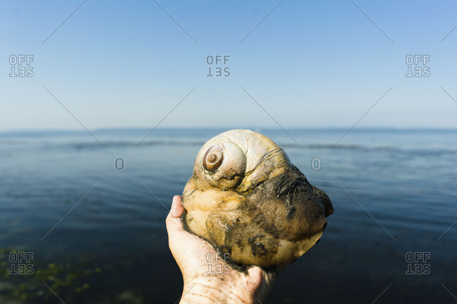 Person holding a large moon snail on the beach
