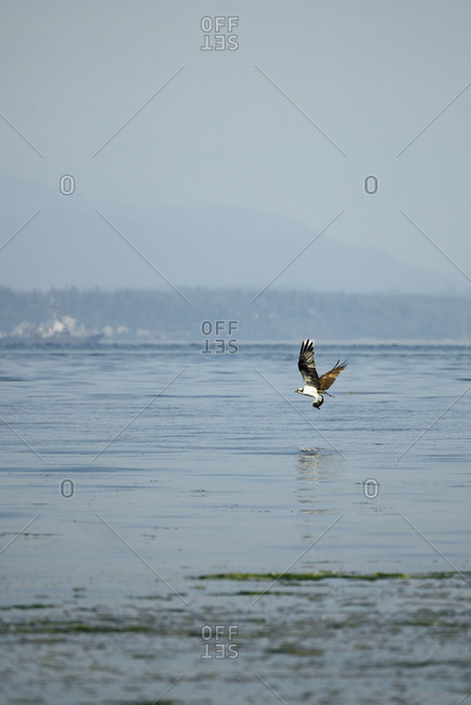 Osprey holding a fish in its talons flying above the waters of Puget Sound
