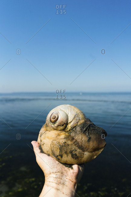Person holding a large moon snail found along the coast of Puget Sound