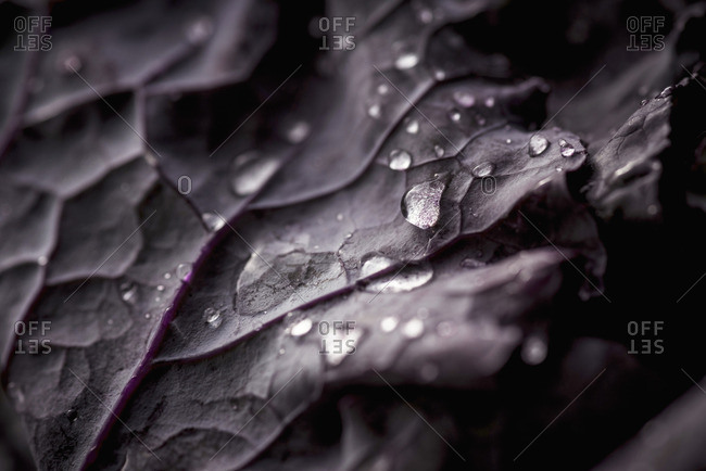 Drops of water on a washed leaf of purple kale (close-up)