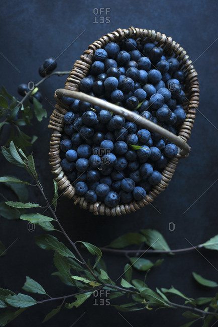 A basket of freshly picked sloe berries (Prunus spinosa)