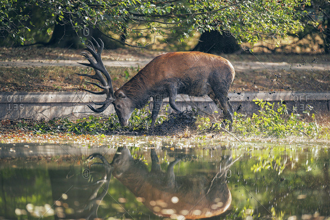 Muddy deer drinking from a lake
