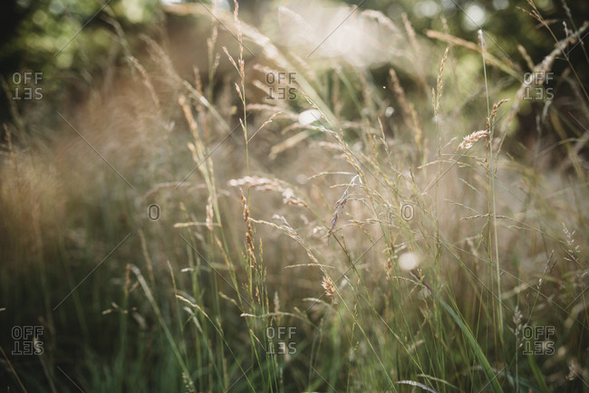 Close-up of tall grass in a field