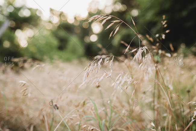 Close-up of tall grass gone to seed in a field