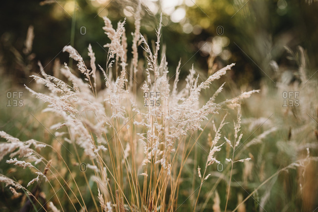 Close-up of tall grass gone to seed in a meadow