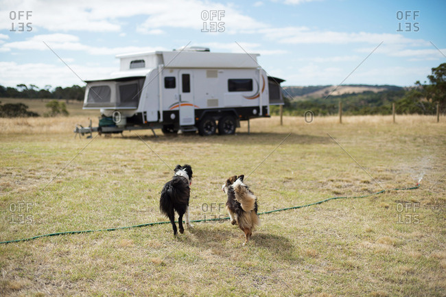 Dogs running and playing in a paddock next to camping trailer