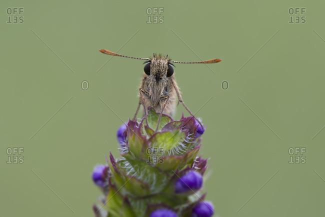 Small skipper on flower