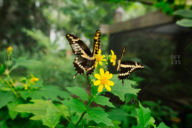 Two swallowtail butterflies feeding on nectar from yellow wildflowers