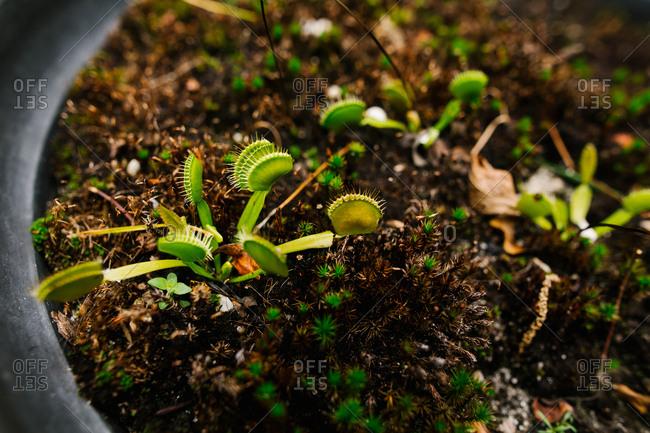 Venus flytraps growing in pot