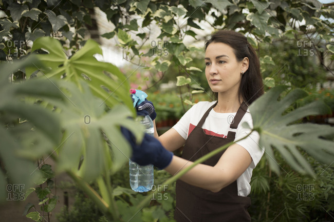 Woman watering large leaf plan in a greenhouse