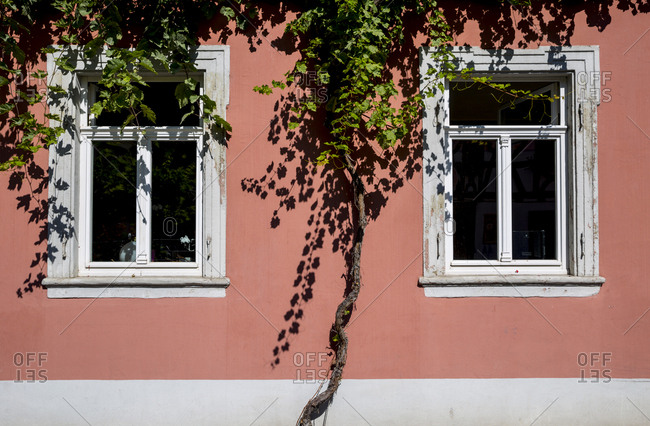 A grape vine clings to a house in Bacharach, Germany