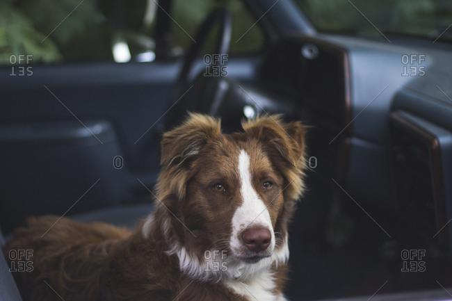 Farm dog waiting in truck