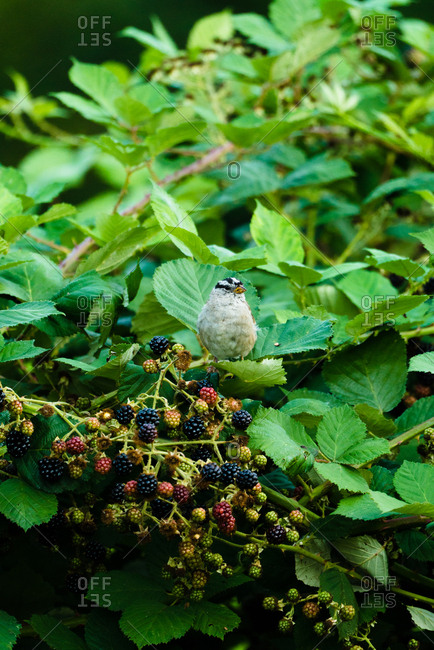 Songbird perched in a blackberry bush