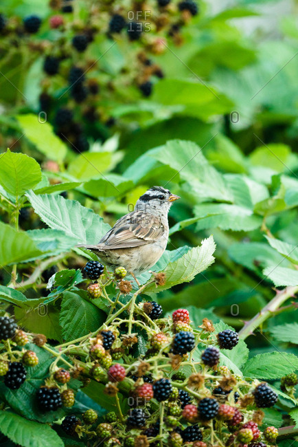 Songbird perched on a blackberry bush with ripe berries