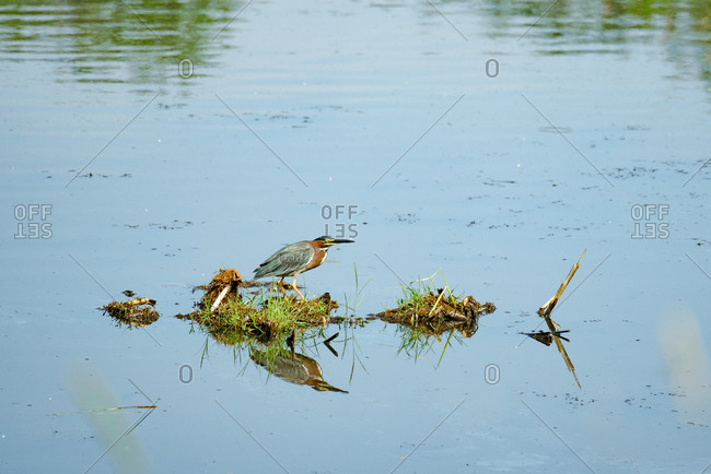 Green heron in pond