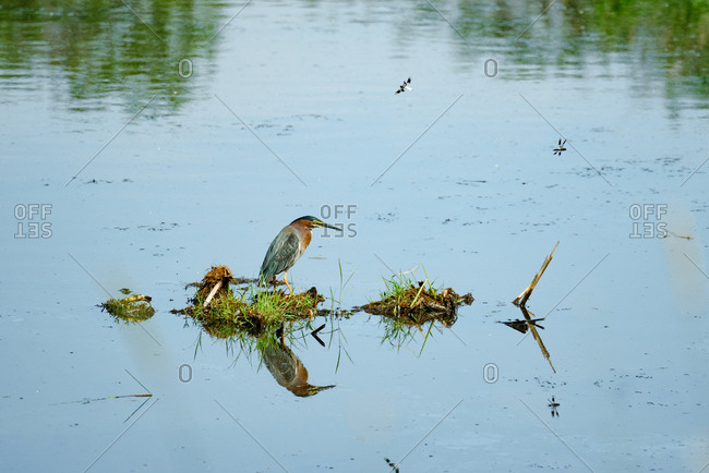 Green heron reflected in water