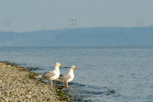 Two seagulls on the shore of Puget Sound